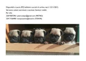 Disponibilità di cuccioli  carlino a Lauria